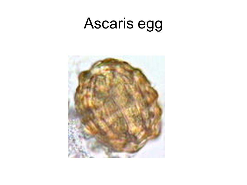 Ascaris egg