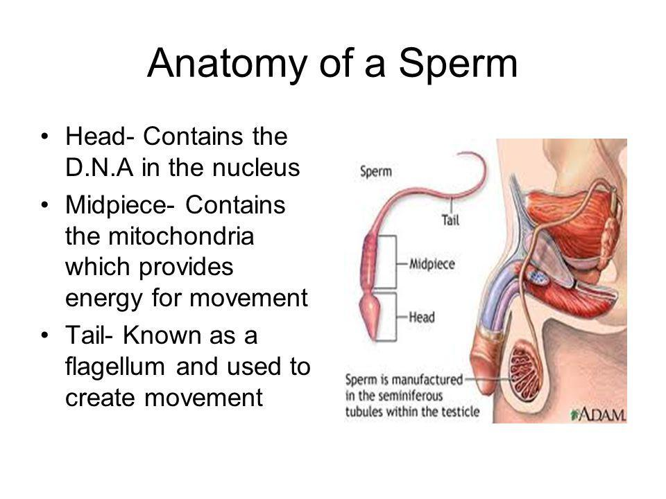 Anatomy of a Sperm Head- Contains the D.N.A in the nucleus