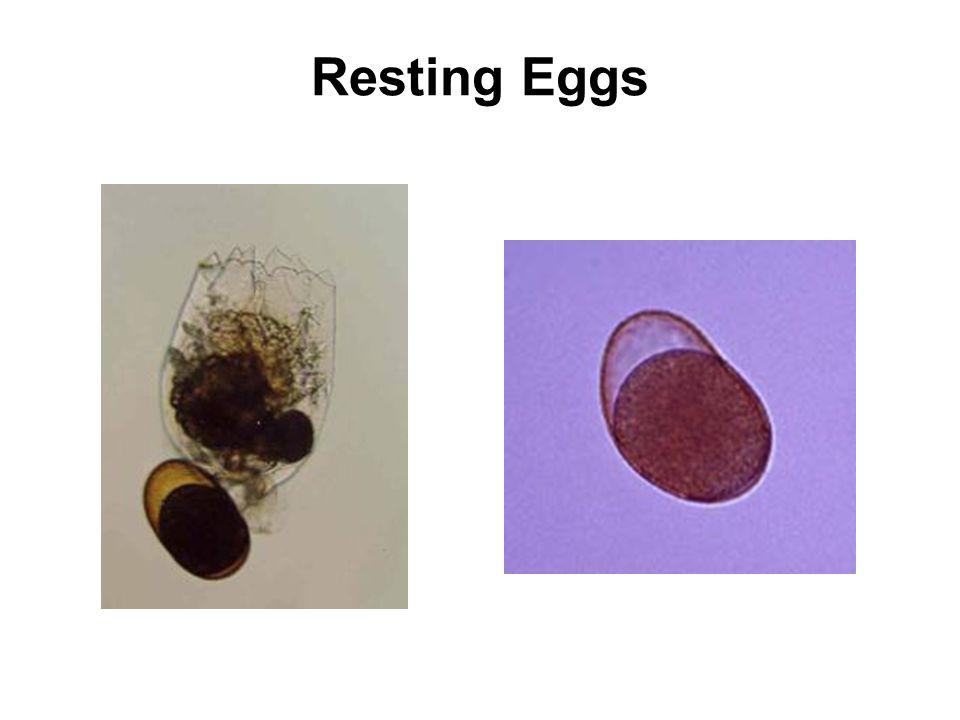 Resting Eggs