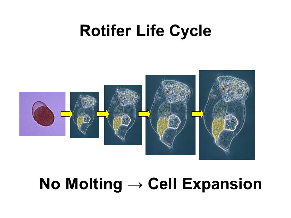 No Molting → Cell Expansion