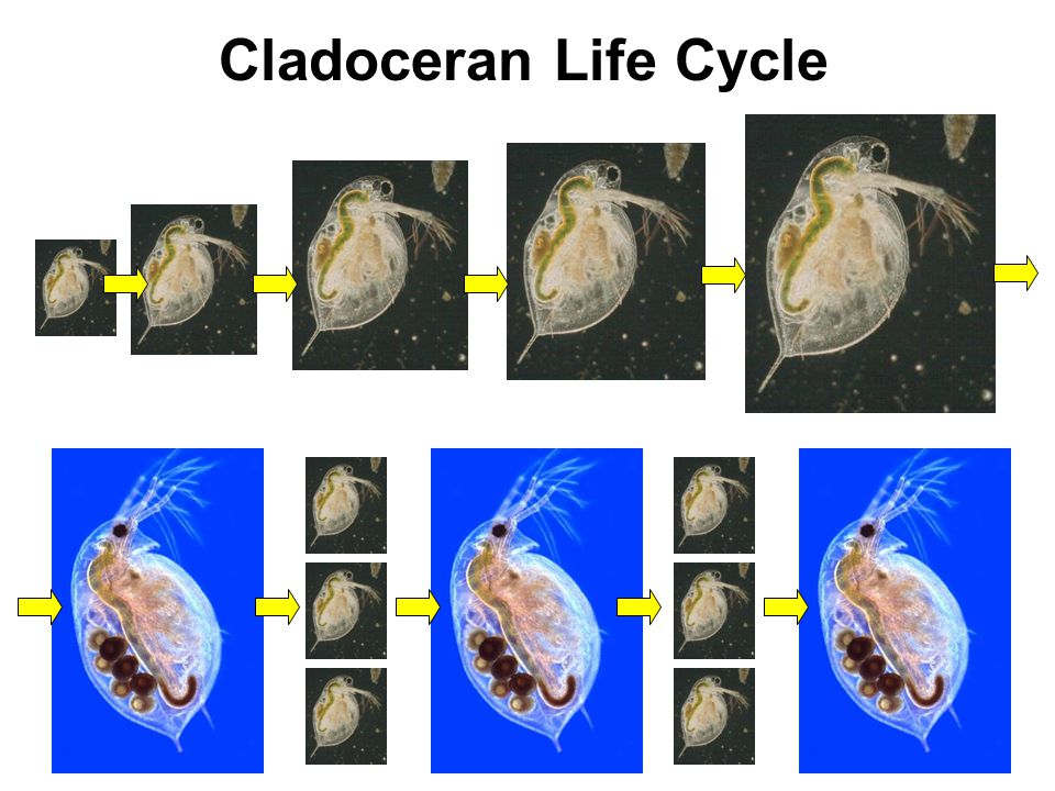 Cladoceran Life Cycle