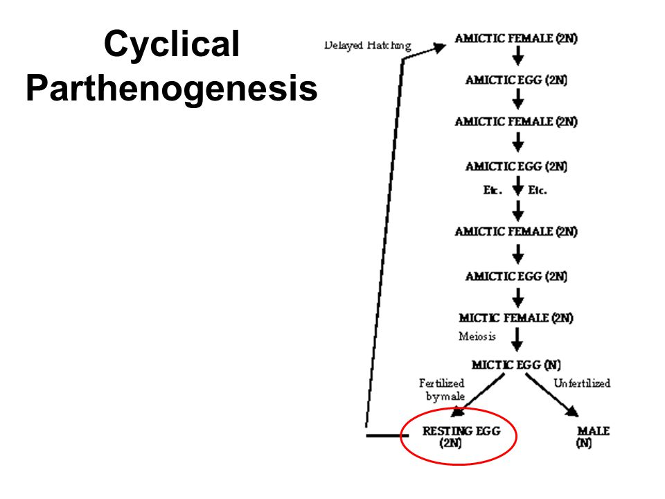 Cyclical Parthenogenesis
