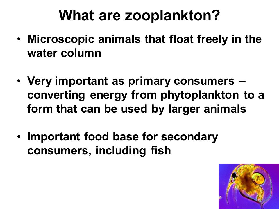 What are zooplankton Microscopic animals that float freely in the water column.