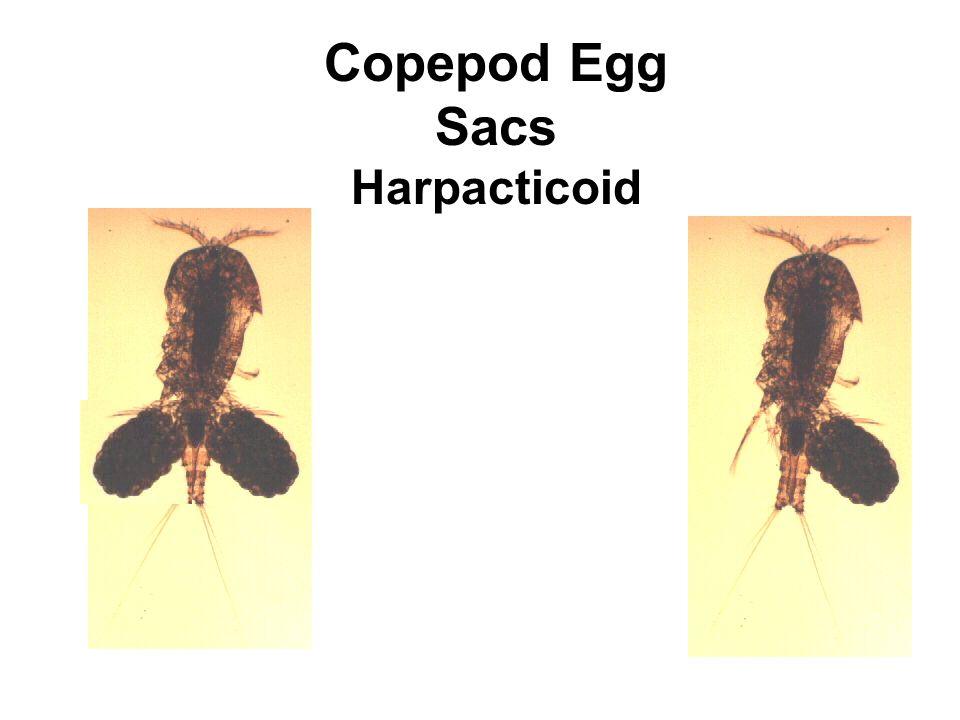 Copepod Egg Sacs Harpacticoid