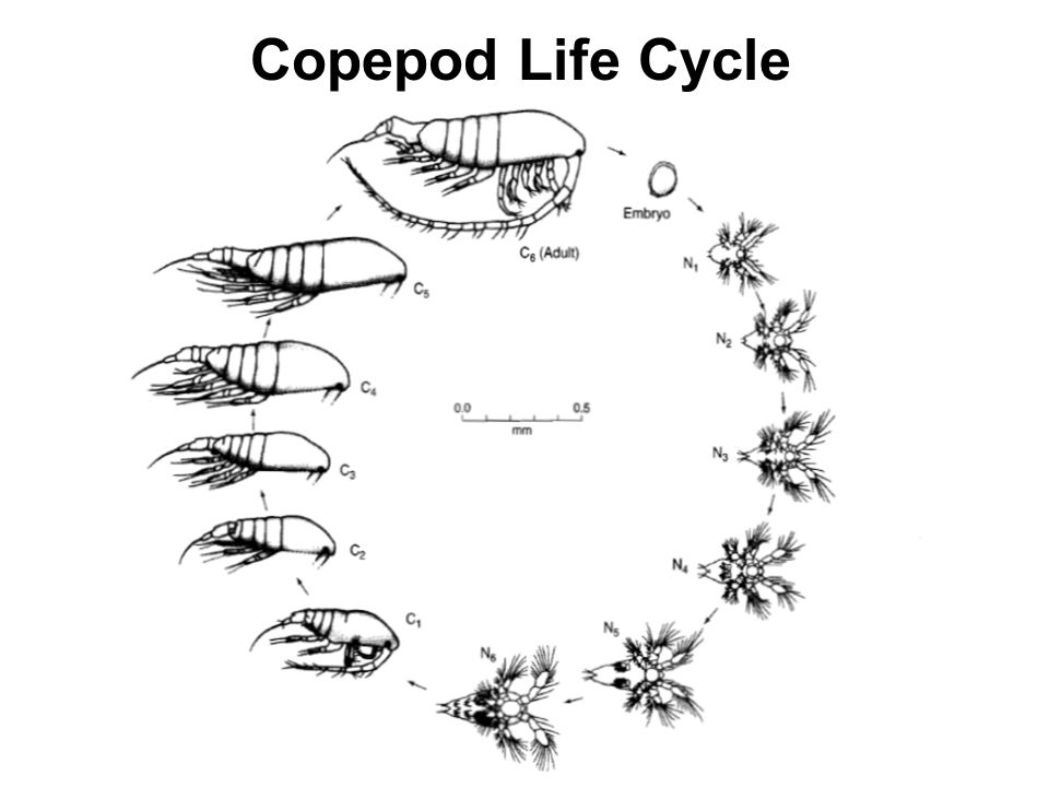 Copepod Life Cycle