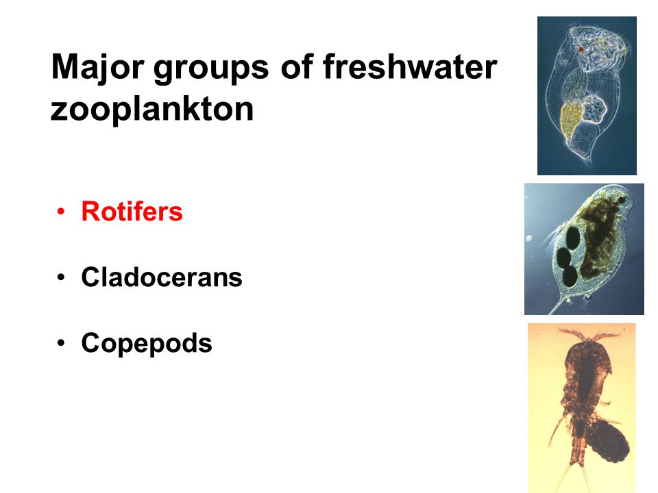 Major groups of freshwater zooplankton