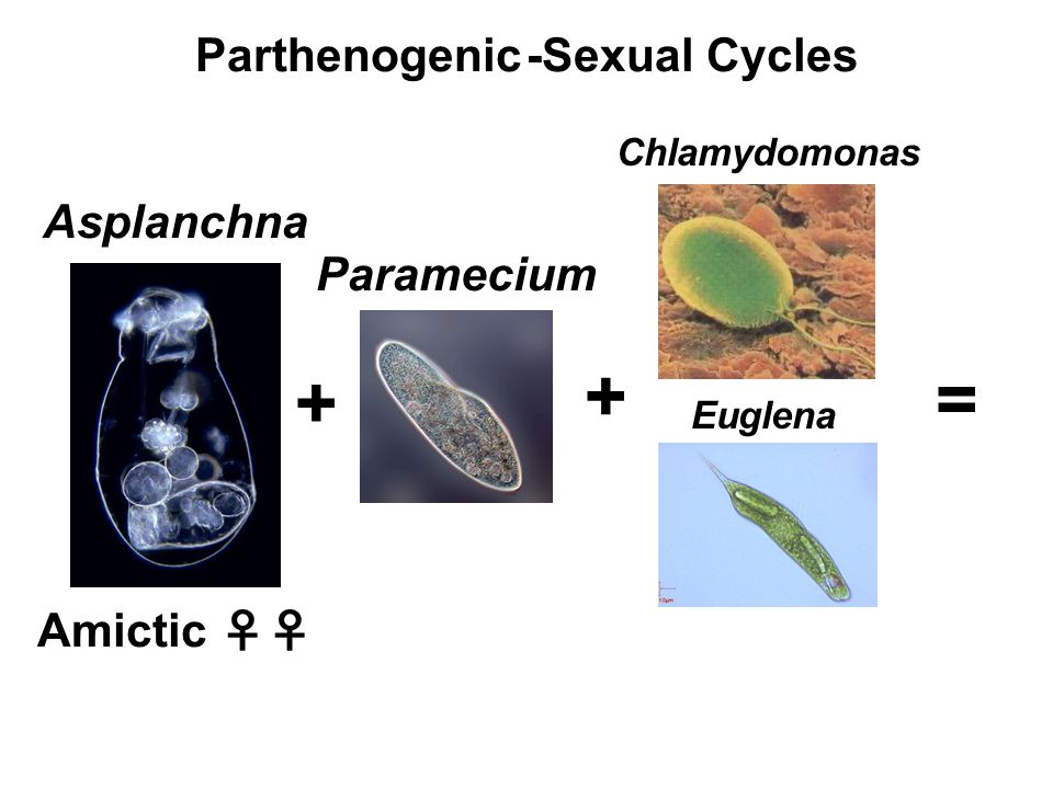 Parthenogenic -Sexual Cycles