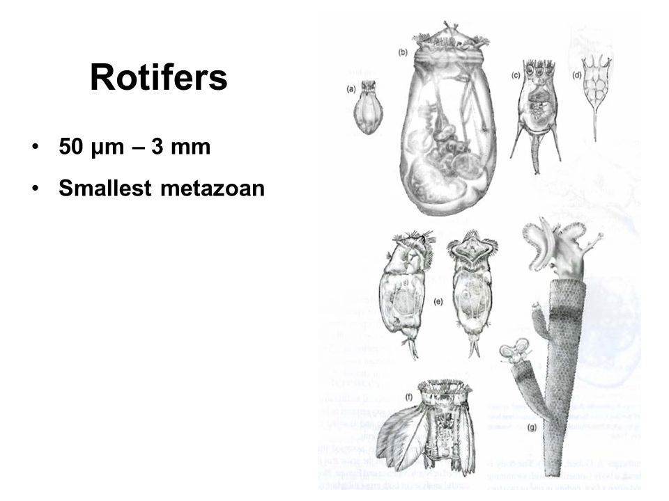 Rotifers 50 μm – 3 mm Smallest metazoan
