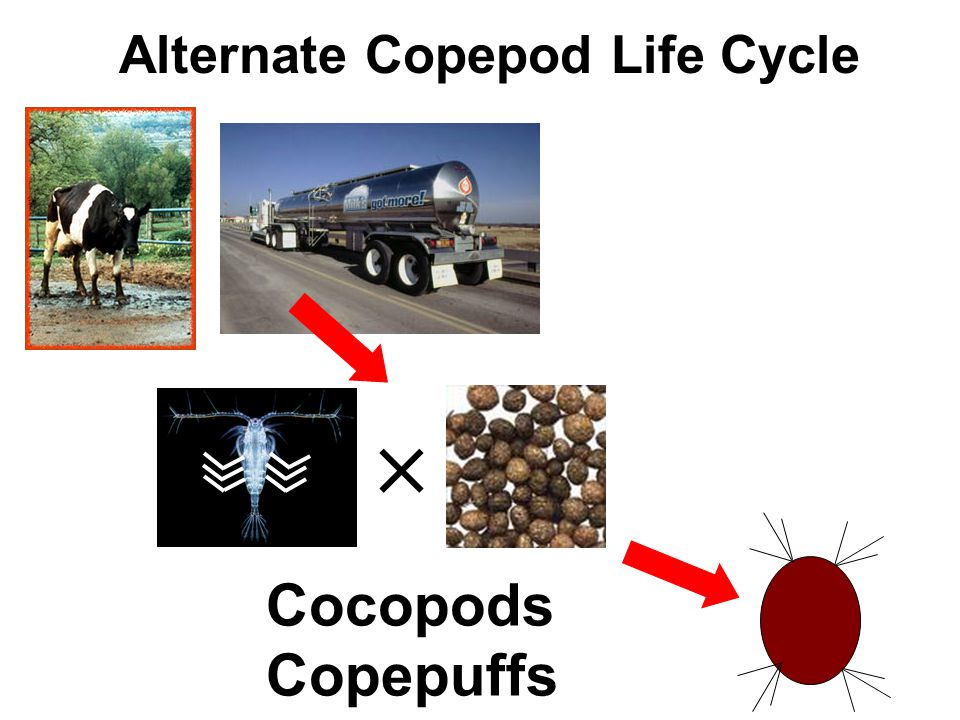 Alternate Copepod Life Cycle