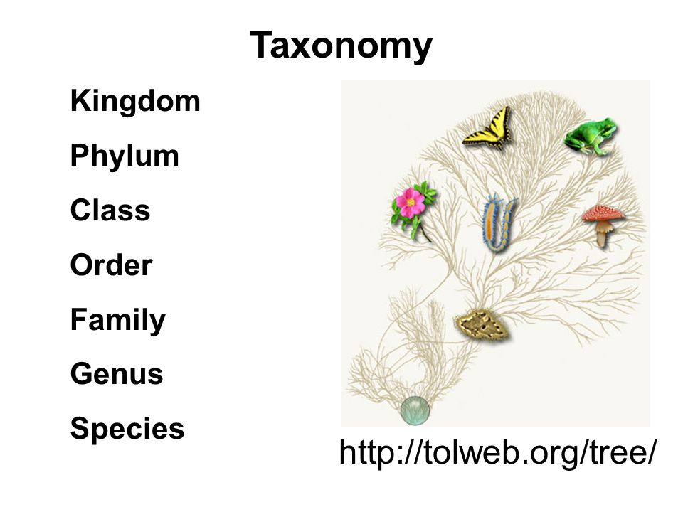 Taxonomy http://tolweb.org/tree/ Kingdom Phylum Class Order Family
