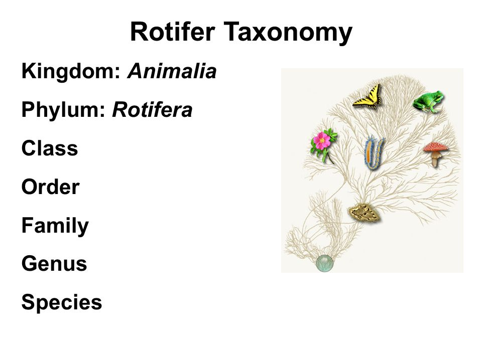 Rotifer Taxonomy Kingdom: Animalia Phylum: Rotifera Class Order Family