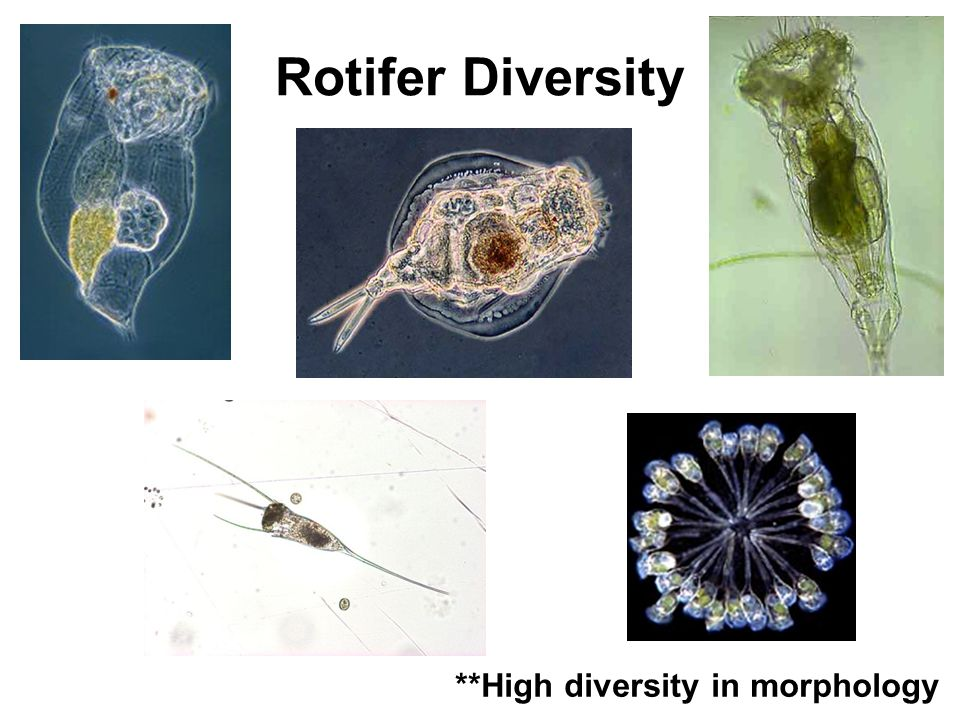 Rotifer Diversity **High diversity in morphology