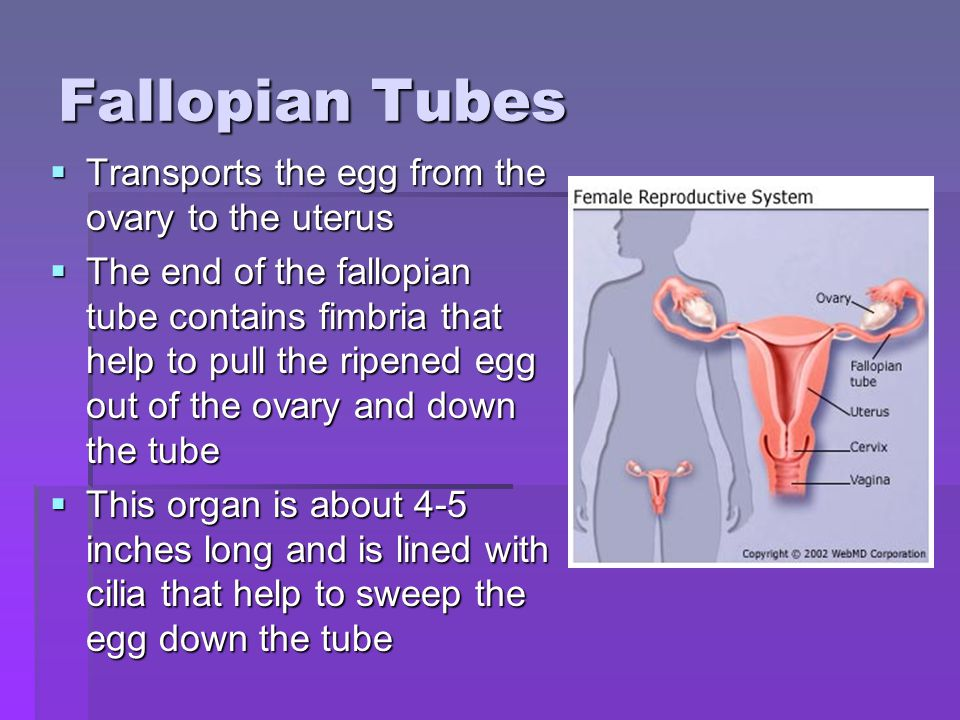 Fallopian Tubes Transports the egg from the ovary to the uterus