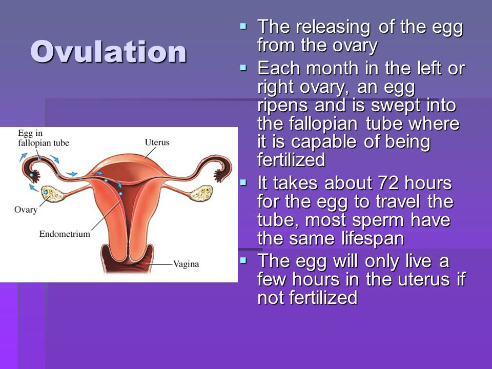 Ovulation The releasing of the egg from the ovary