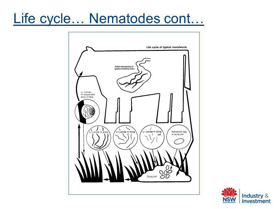 Life cycle… Nematodes cont…