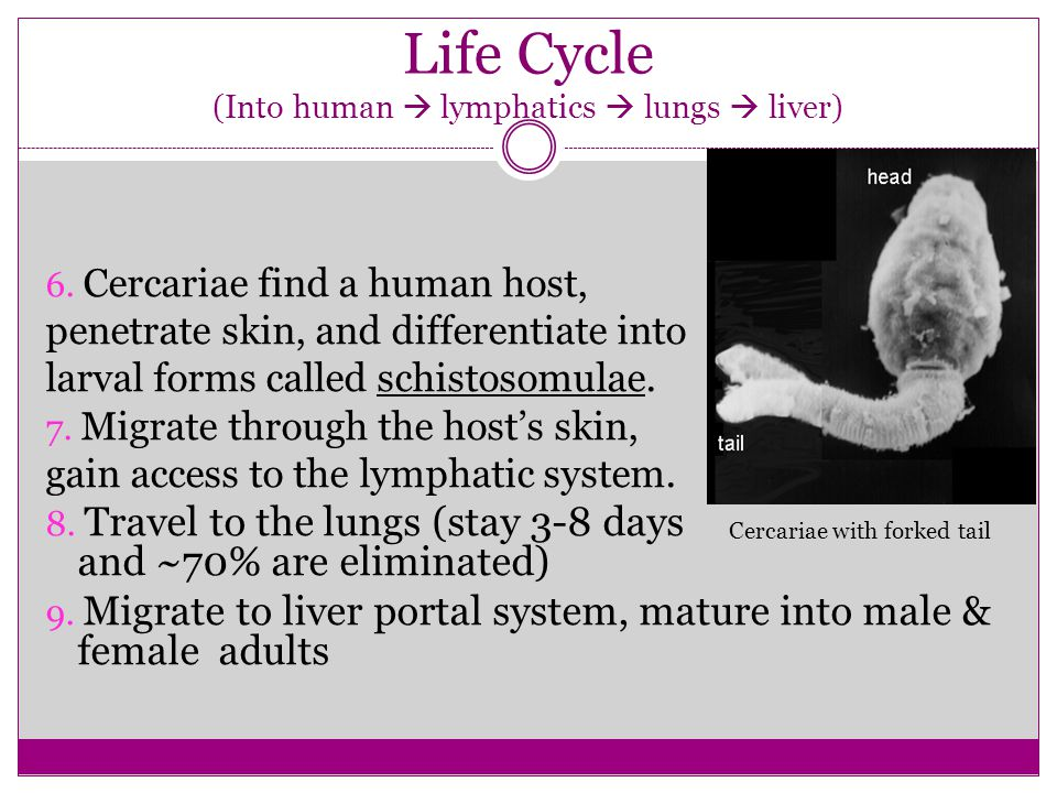 Life Cycle (Into human  lymphatics  lungs  liver)