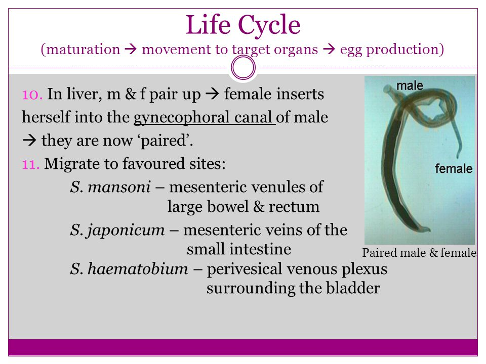 Life Cycle (maturation  movement to target organs  egg production)