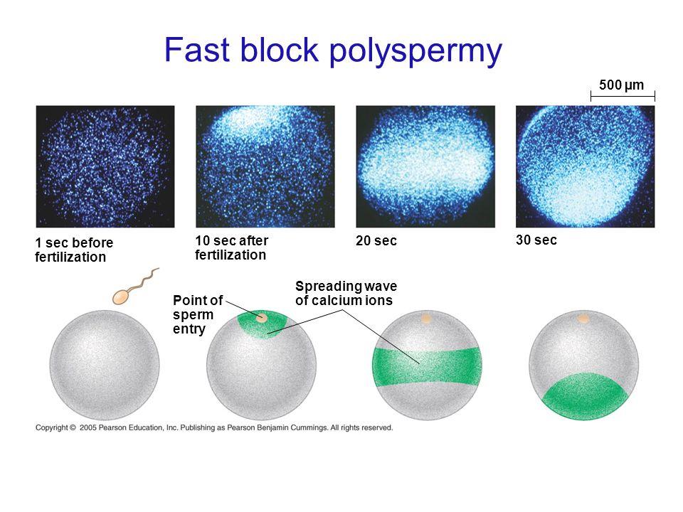Fast block polyspermy 500 µm 1 sec before fertilization 10 sec after