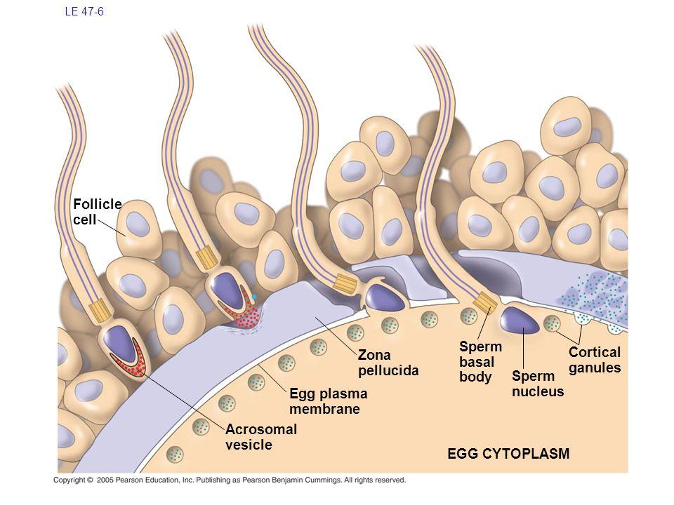 Follicle cell Sperm basal Cortical Zona pellucida body ganules Sperm