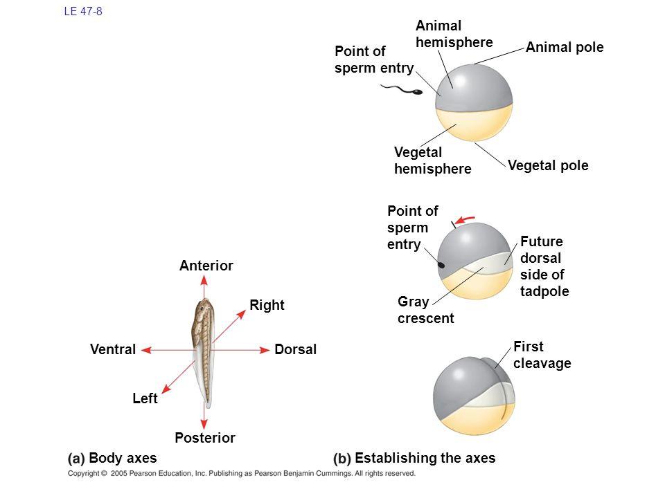 Animal hemisphere Point of sperm entry Animal pole Vegetal hemisphere