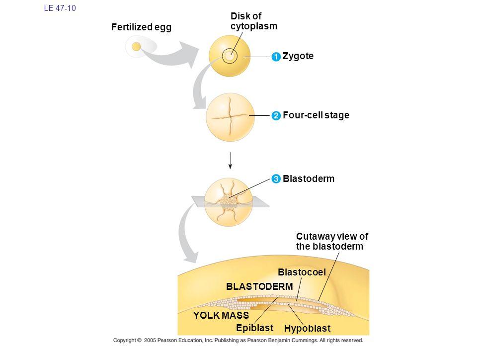 Disk of cytoplasm Fertilized egg Zygote Four-cell stage Blastoderm