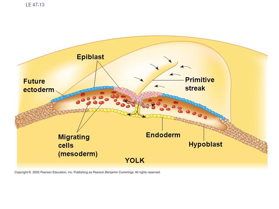 Epiblast Primitive Future streak ectoderm Endoderm Migrating cells