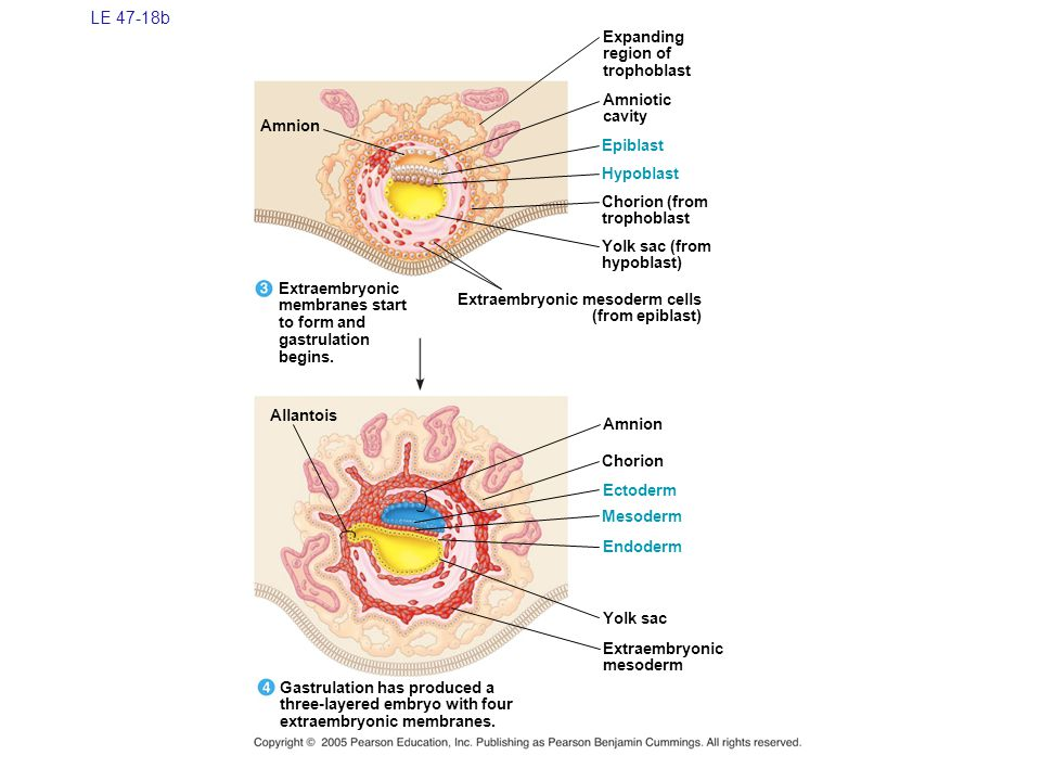 LE 47-18b Expanding region of trophoblast Amniotic cavity Amnion