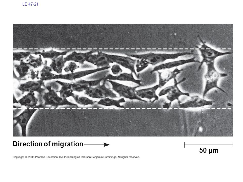 Direction of migration 50 µm