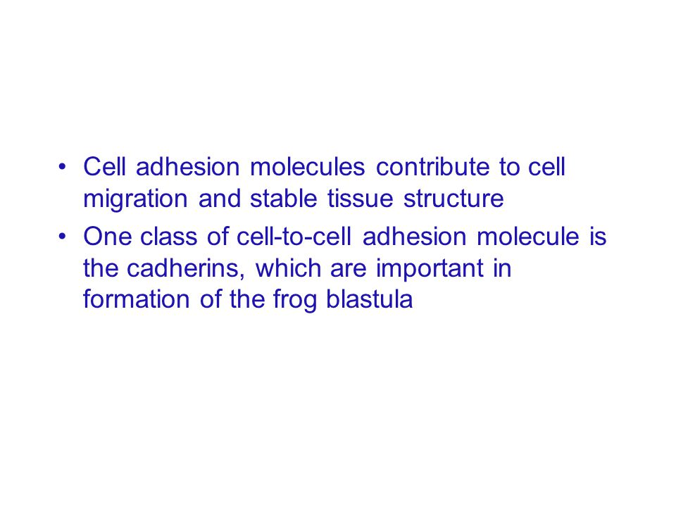 Cell adhesion molecules contribute to cell migration and stable tissue structure