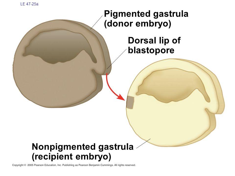 Nonpigmented gastrula (recipient embryo)