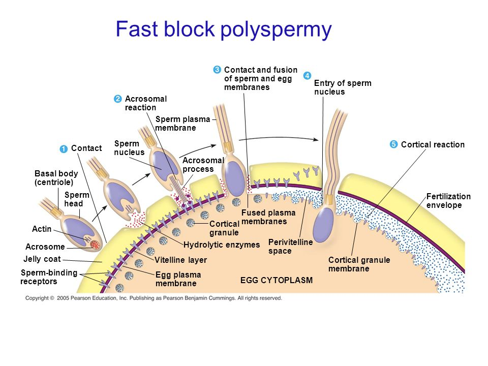Fast block polyspermy Contact and fusion of sperm and egg membranes