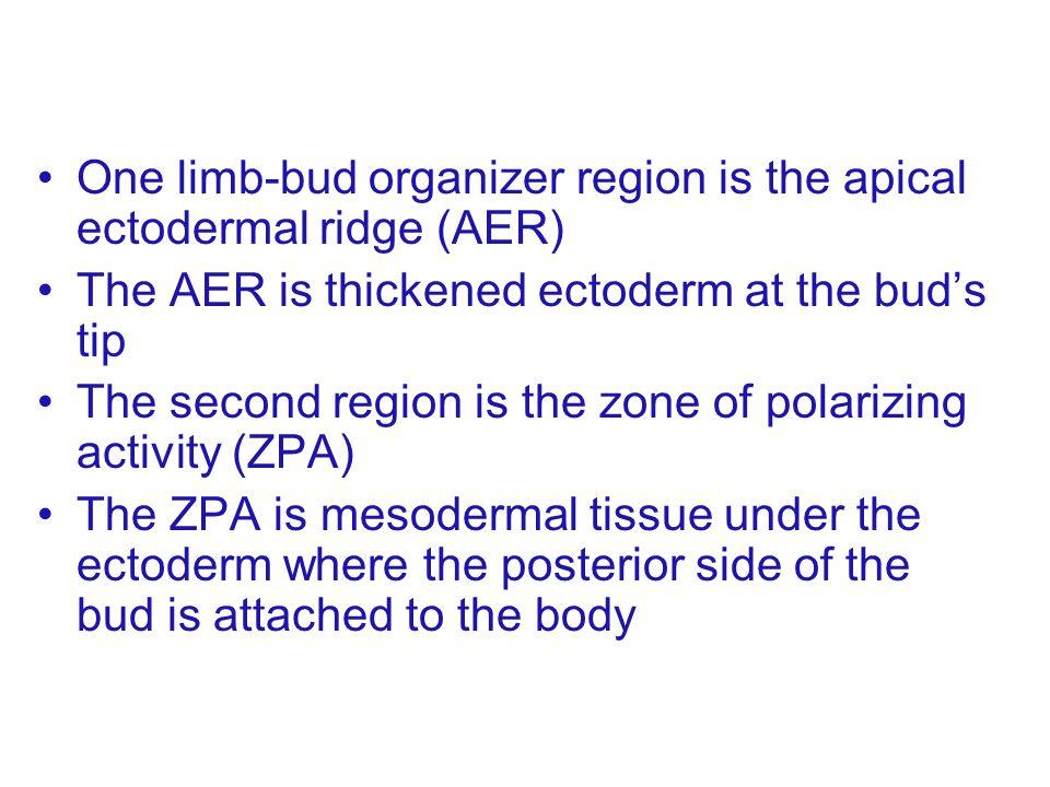 One limb-bud organizer region is the apical ectodermal ridge (AER)
