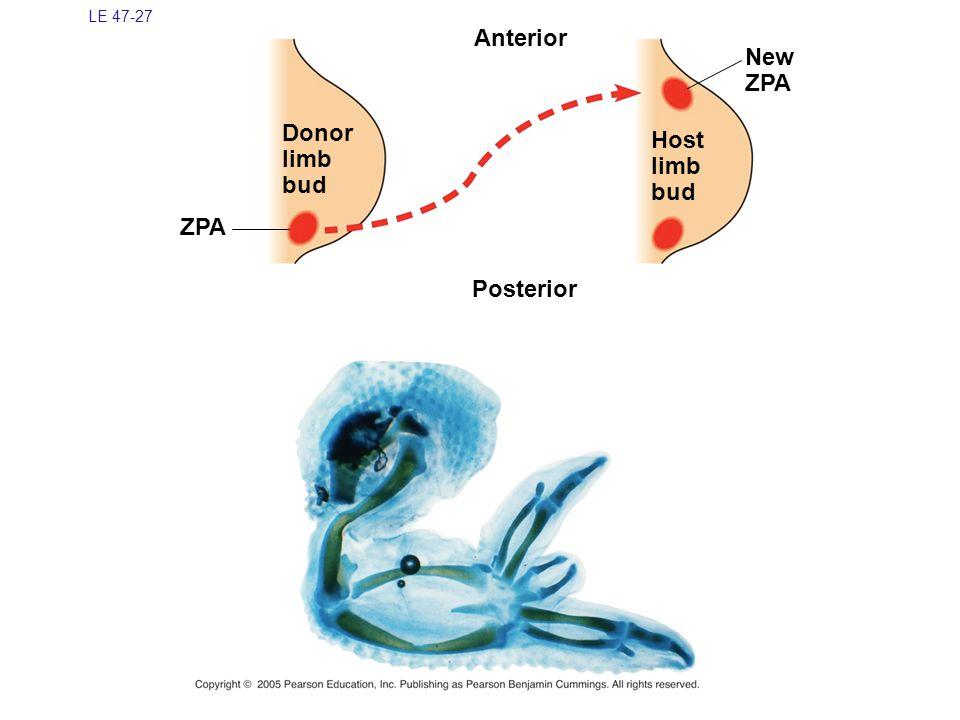 LE 47-27 Anterior New ZPA Donor limb bud Host limb bud ZPA Posterior