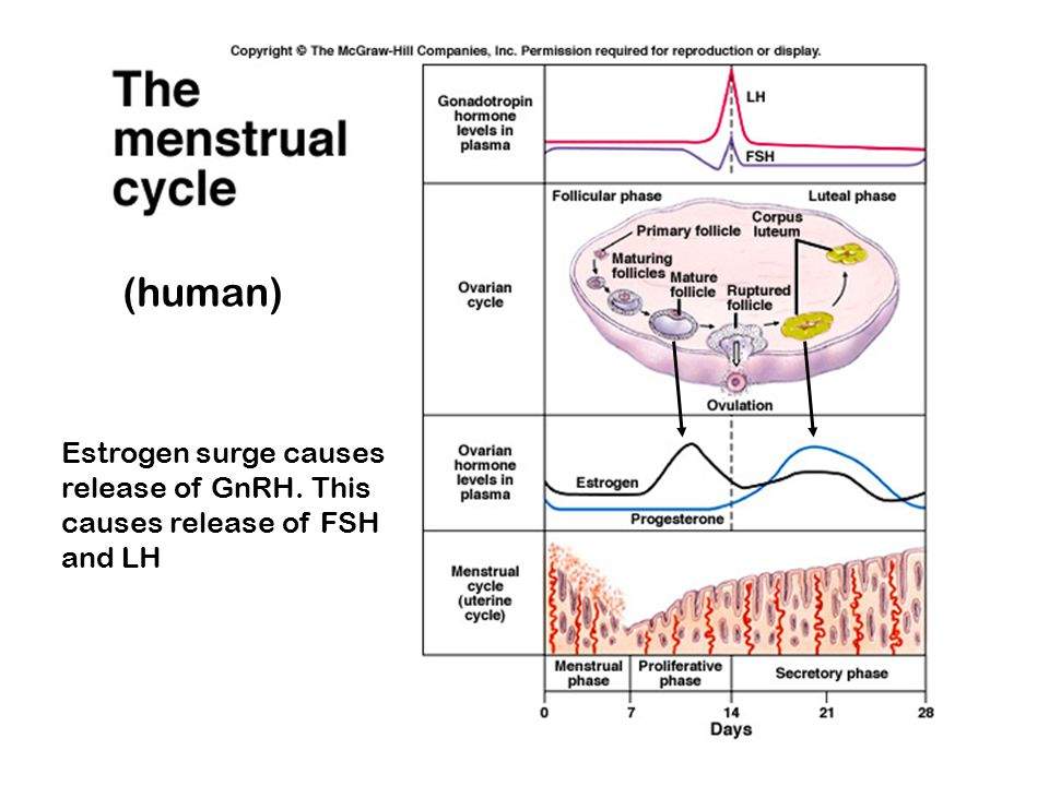 (human) Estrogen surge causes release of GnRH. This