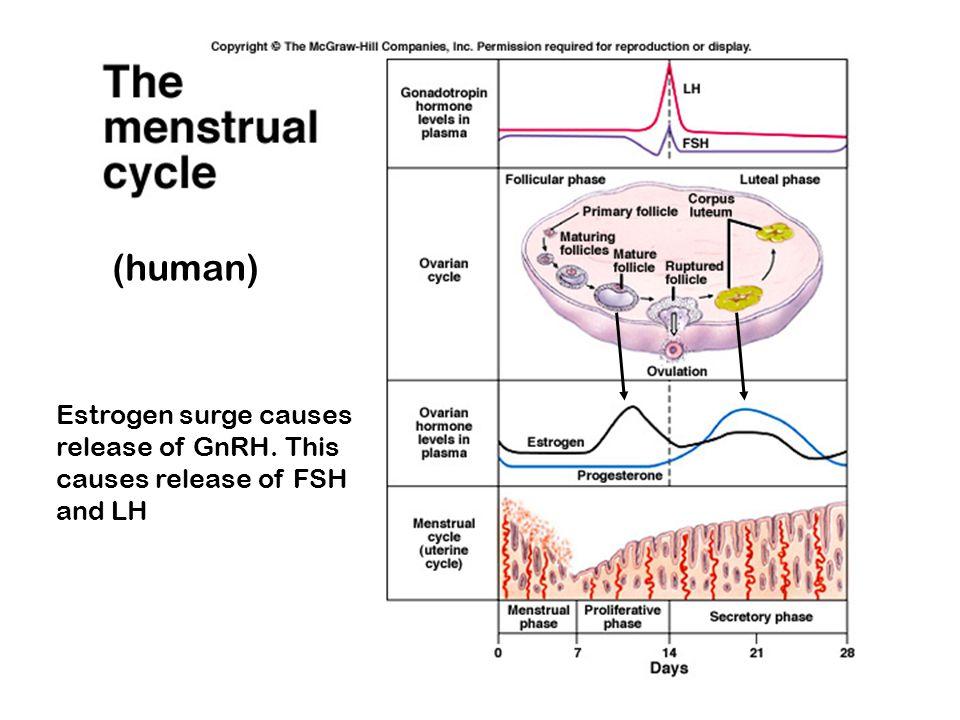 (human) Estrogen surge causes release of GnRH. This