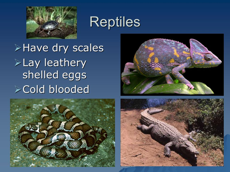 Reptiles Have dry scales Lay leathery shelled eggs Cold blooded