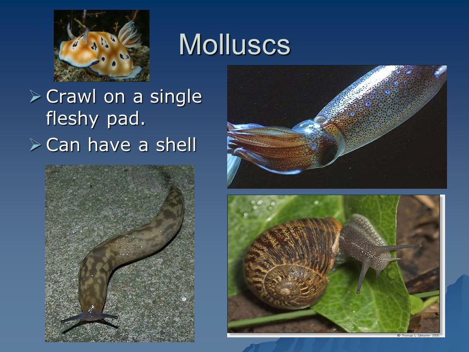 Molluscs Crawl on a single fleshy pad. Can have a shell