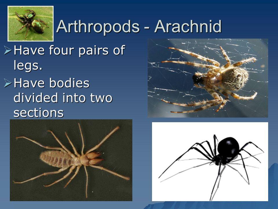 Arthropods - Arachnid Have four pairs of legs.