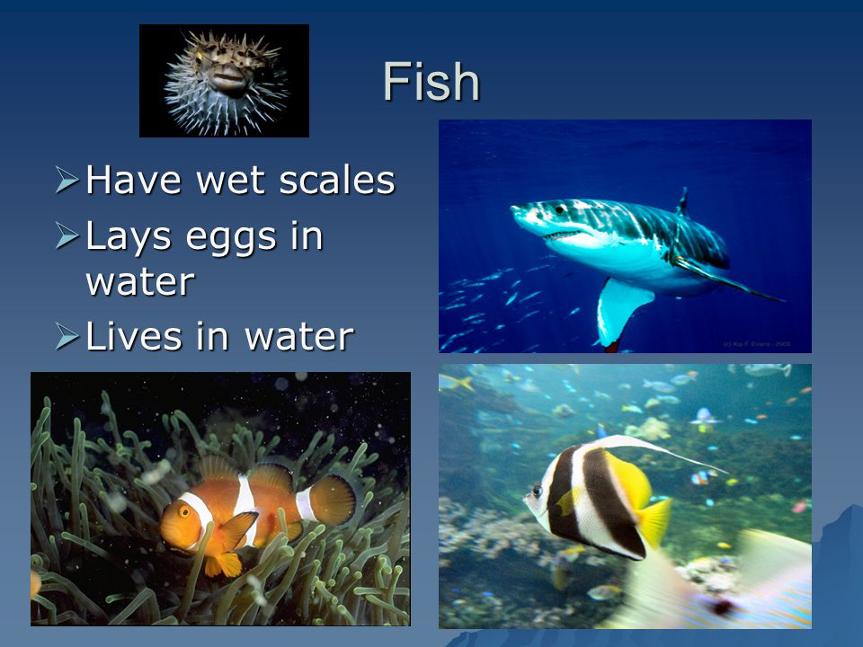 Fish Have wet scales Lays eggs in water Lives in water