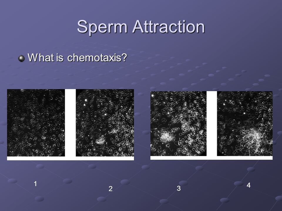 Sperm Attraction What is chemotaxis 1 4 2 3