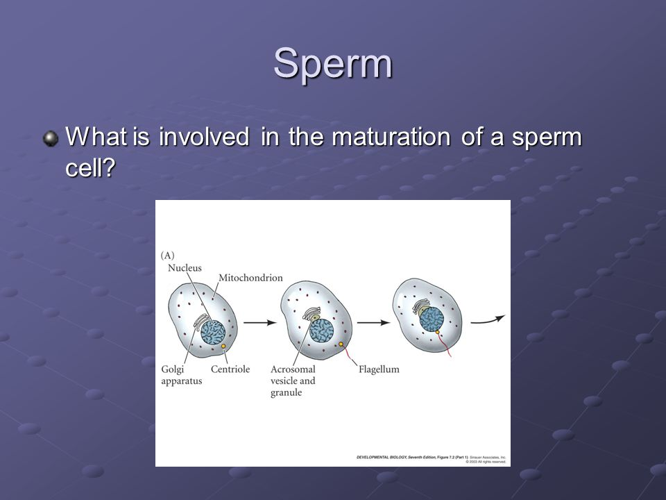 Sperm What is involved in the maturation of a sperm cell