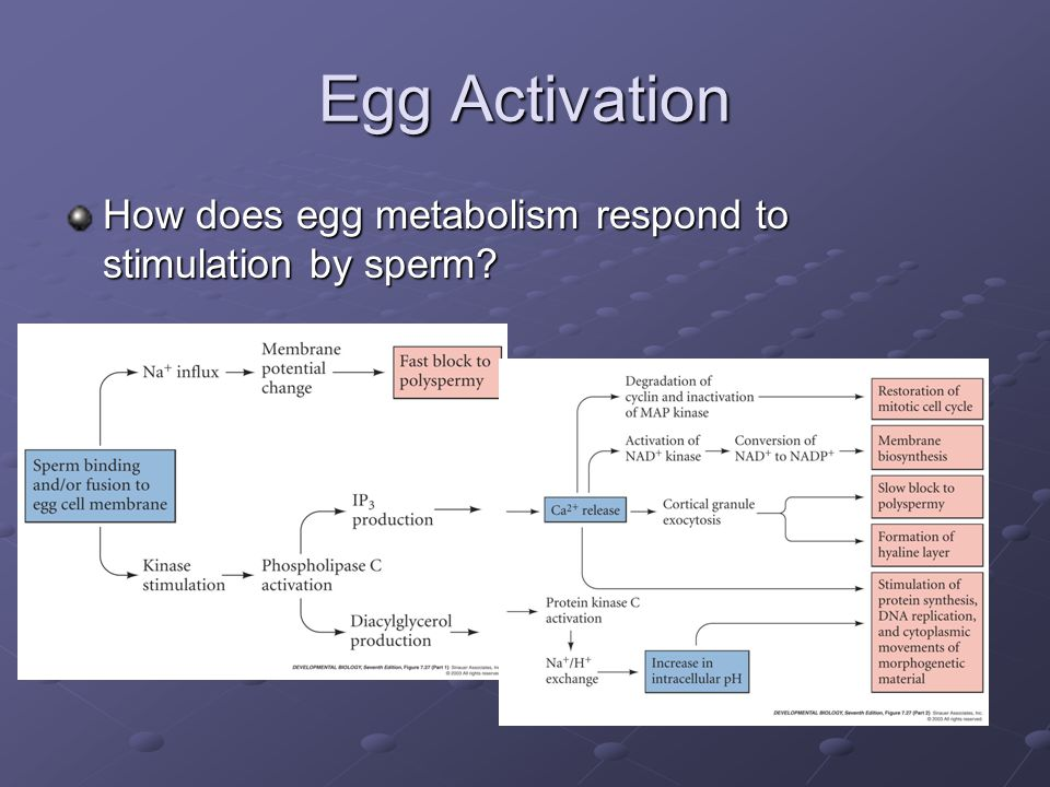 Egg Activation How does egg metabolism respond to stimulation by sperm increase in calcium levels trigger many reactions – can block with EGTA.
