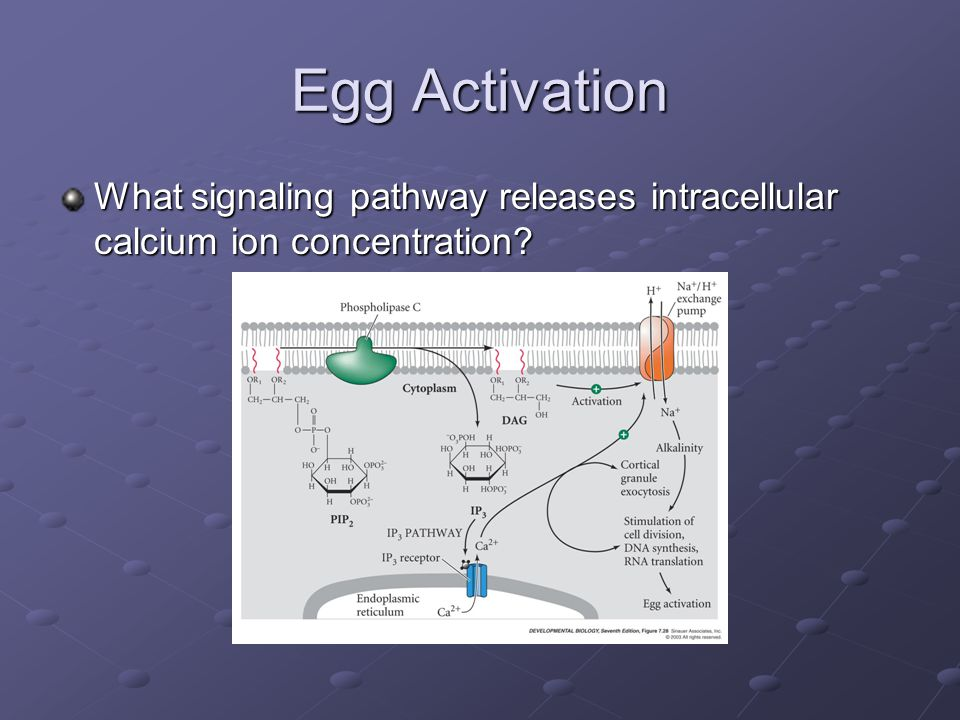 Egg Activation What signaling pathway releases intracellular calcium ion concentration