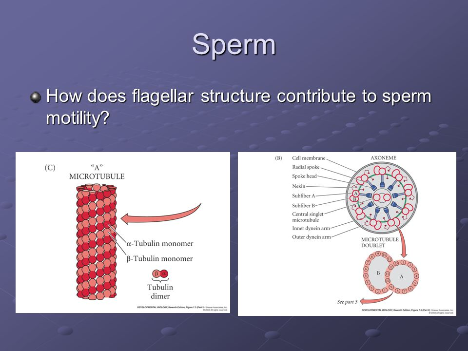 Sperm How does flagellar structure contribute to sperm motility