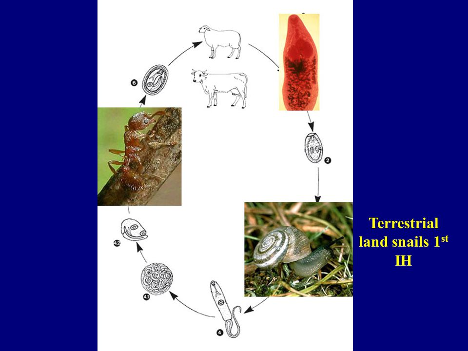 Terrestrial land snails 1st IH