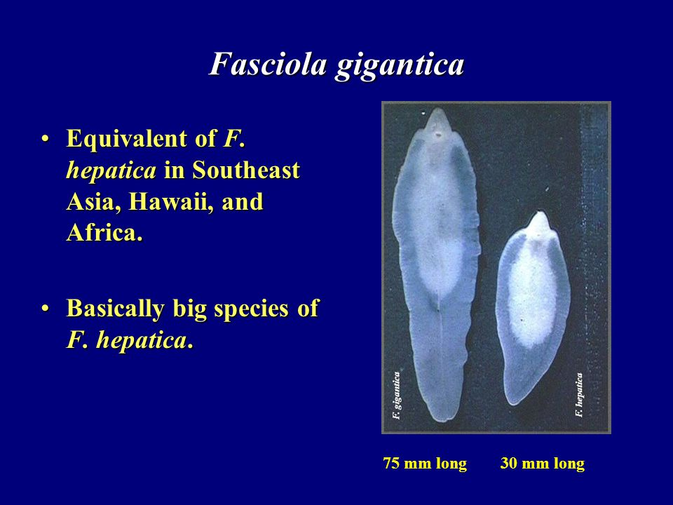 Fasciola gigantica Equivalent of F. hepatica in Southeast Asia, Hawaii, and Africa. Basically big species of F. hepatica.