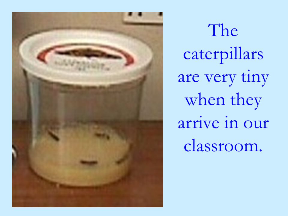 The caterpillars are very tiny when they arrive in our classroom.