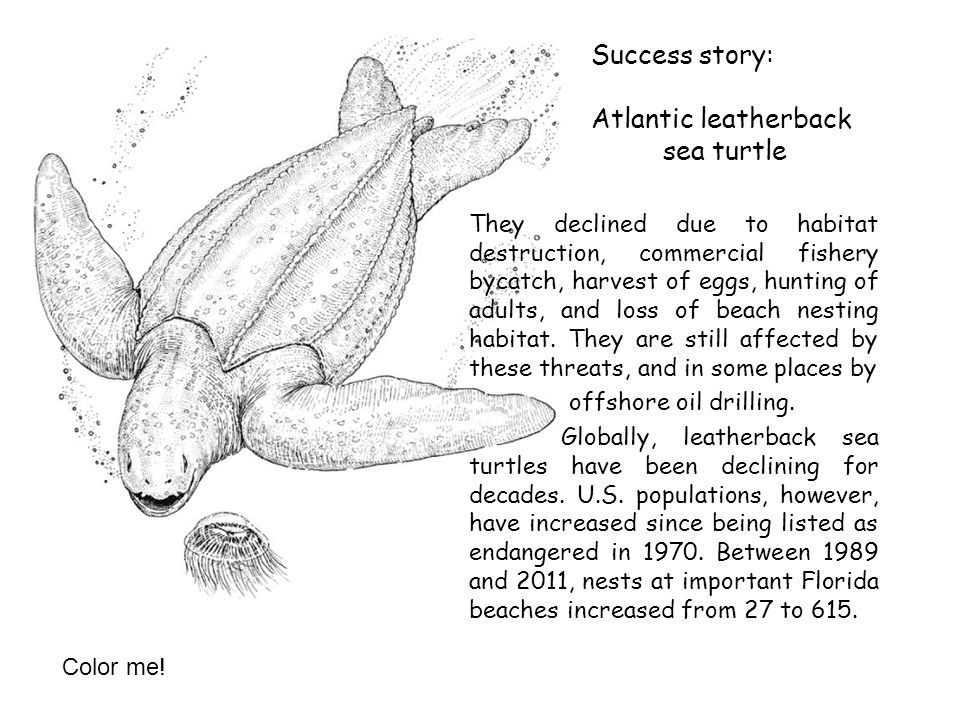 Success story: Atlantic leatherback sea turtle