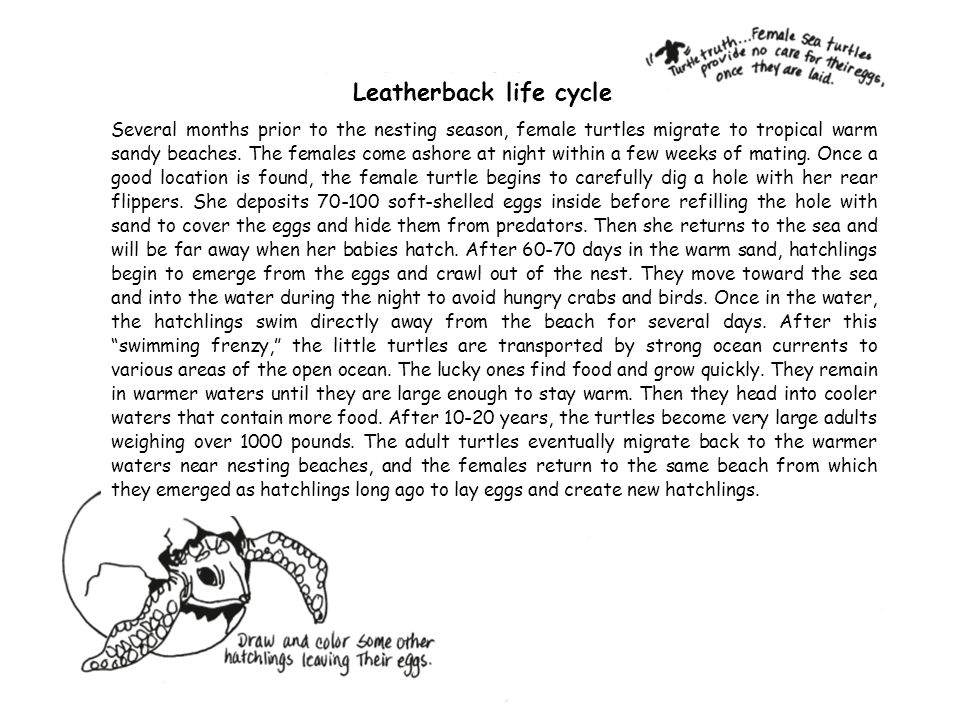 Leatherback life cycle
