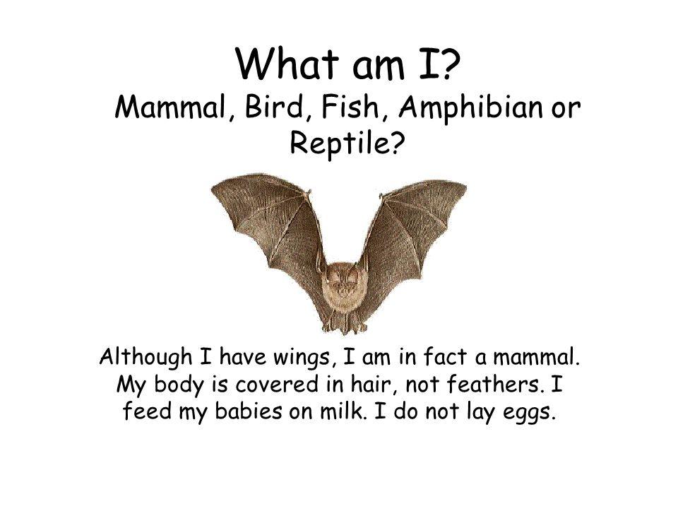 What am I Mammal, Bird, Fish, Amphibian or Reptile